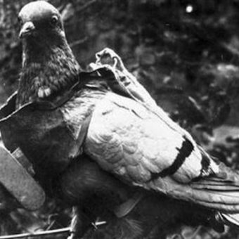 Hear the one about WWII remote controlled bomb-pigeons?
