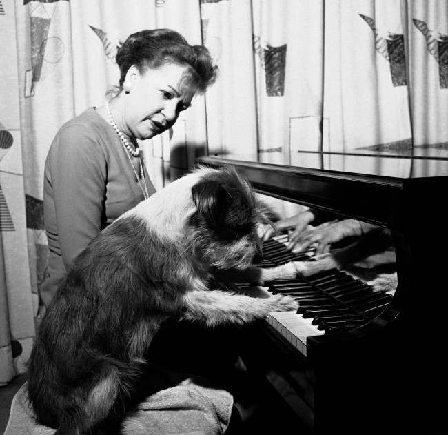 """From orphanage to Broadway-that's the shaggy dog story of a real-life shaggy dog. Her name is Harrison now shown May 16, 1964, but nine months ago she was a nameless mongrel in the Bide-A-Wee Home with little to look forward to except, at best, a gentle owner. She is a hit on Broadway and boasts among her friends Robert Horton and Inga Swenson, stars of the musical """"110 In The Shade."""" Harrison was taken from the orphanage on approval to try out for a part in the show. She made such an impression on the cast and crew that when her original part was deleted before opening night a new """"walk on"""" was written in. she also has a home now. She and stage manager May Muth share a spacious apartment a short walk from the Broadhurst Theatre-where the play is running. Miss Muth also now owns Harrison. Since her debut on Broadway, Harrison is in demand for TV parts and commercials. She has her own agent and has even auditioned for a movie bit. Harrison uses charm instead of method in her acting. She has received no formal training but her behavior both on and off stage is that of a veteran. Her performance in the musical is natural and unaffected. She just has fun. Just to prove that her success hasn't gone to her head, Harrison takes unusual delight in barking at mounted policemen''s horses along Broadway it's the one owner comments."""