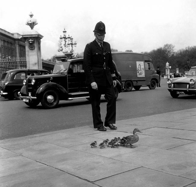Safely through the traffic outside Buckingham Palace, mother duck and the ducklings march on - under police escort- to St James Park and the peace of the lake. Date: 04/05/1964