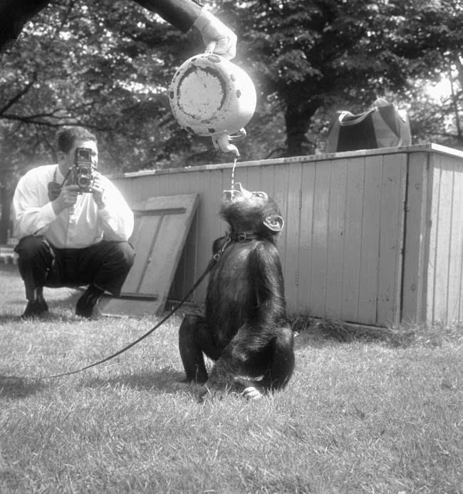 Chimpanzee Winnie enjoys a drink straight from the teapot during rehearsal of the popular chimpanzees' tea party held at London Zoo. Date: 28/05/1964