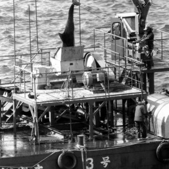 March 1980: Japanese Fishermen Shred Dolphins