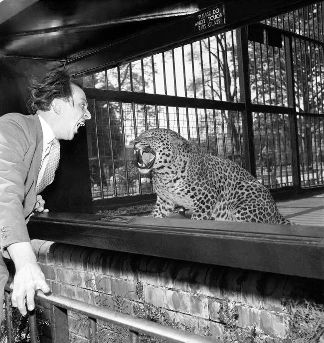 It's a battle of fangs when comedian meets leopard at Bristol Zoo, where Ken Dodd snaps his £10,000 gnashers virtually in the face of the fearsome Larry. Fortunately, there's a strong glass screen between them. Because he reckons his prominent front teeth are his fortune, Ken has insured them for £10,000. The Birmingham insurance broker who accepted the risk has laid down two important conditions. Ken must not ride a motorcycle, take part in vigorous sports - or eat seaside rock.  Date: 06/06/1957