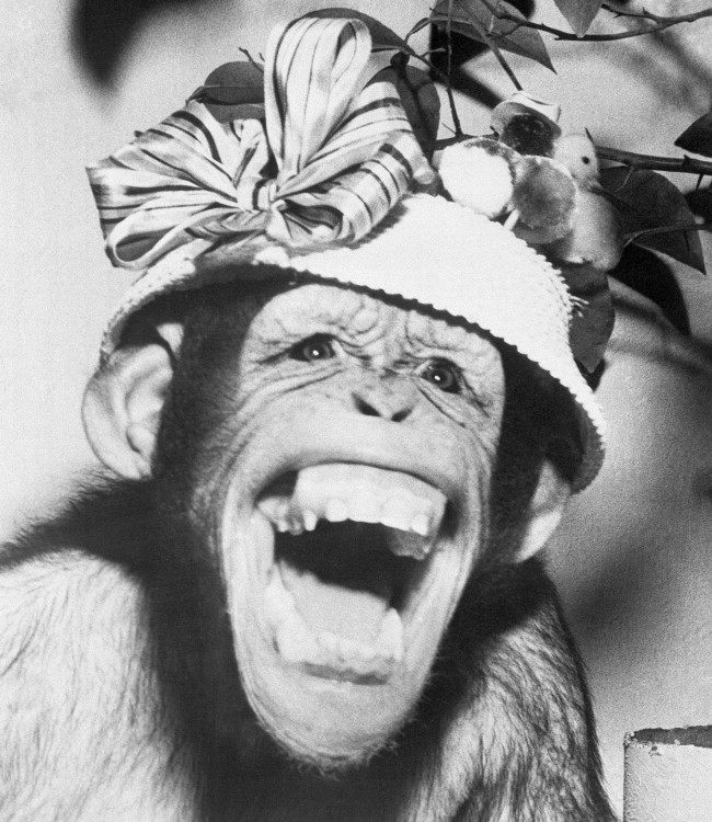 The latest thing in Easter bonnets is shown by Lulu, star attraction at the Bloomington Zoo, Illinois, who had this expression when she posed for photographer, March 28, 1959.