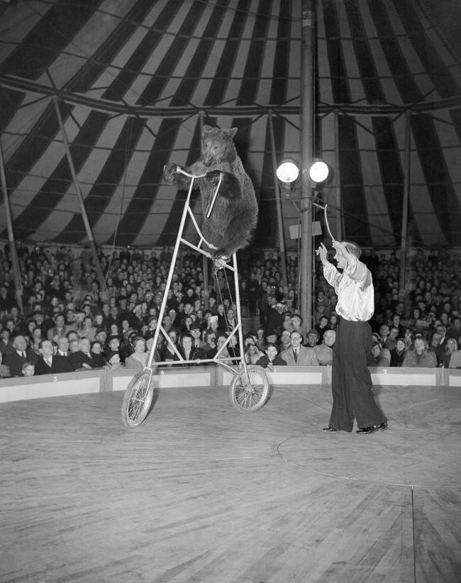During an act of the new clown-owned circus, Hans Grocker shows his high-riding bear during the opening run in Hamburg, Germany on March 27, 1951. The bear is programmed as the only one in the world which can ride a bicycle as high as this one. He gets on and off with a ladder.