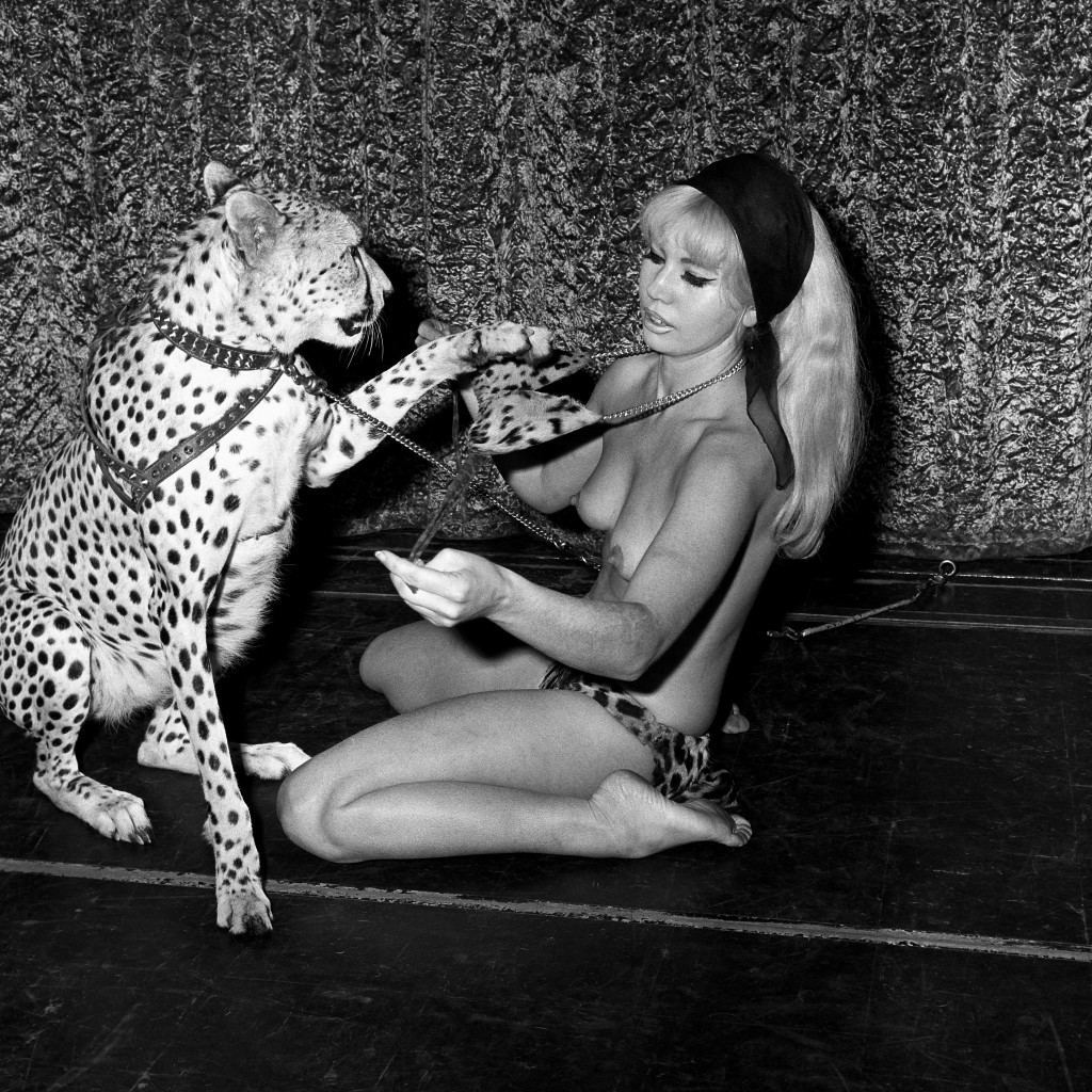Ginni, the 23 month old Cheetah who, in a new act at the West End's Raymond Revue Bar, gradually disrobes Australian dancer Rita Allen, a former beauty queen from Sydney. Ref #: PA.4342079 Date: 02/01/1966