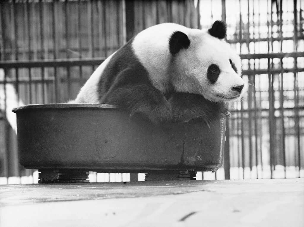 Lien-ho, London Zoo's giant panda, in a bath tub of cold water to cool off from the summer heat. Ref #: PA.11330672  Date: 16/07/1949