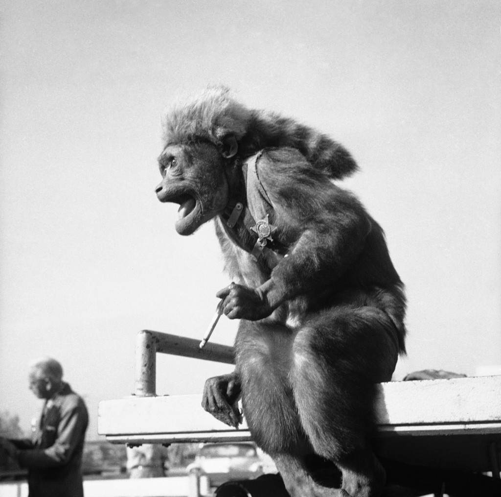 """They should a had an agent,"" is the way a movie press agent interpreted this bit of yowling from Fuzzy, a cigarette-smoking movie-making monkey in Hollywood, May 28, 1959. The publicist says Fuzzy was talking about the flight through space by two monkeys named Able and Baker - all in the interest of science. (AP Photo)"