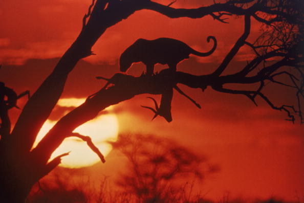 "Original caption 1965 ""  Setting sun Silhouettes a leopard and its kill in the branches of a tree.  """