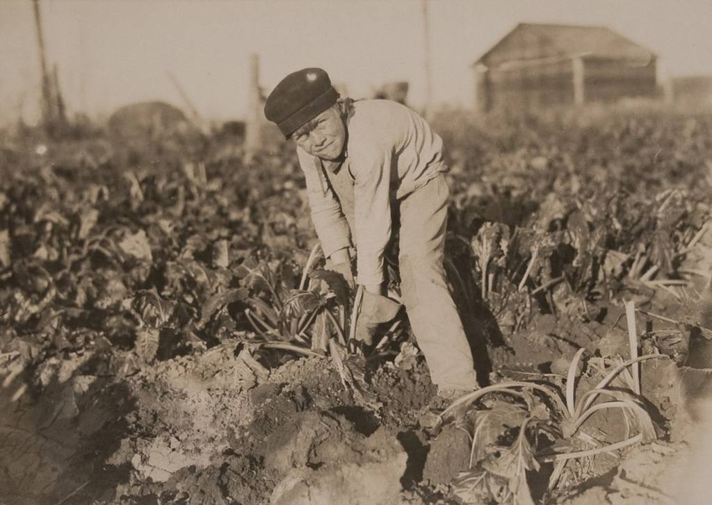 Eight year old boy tugging at the beets - October 1915