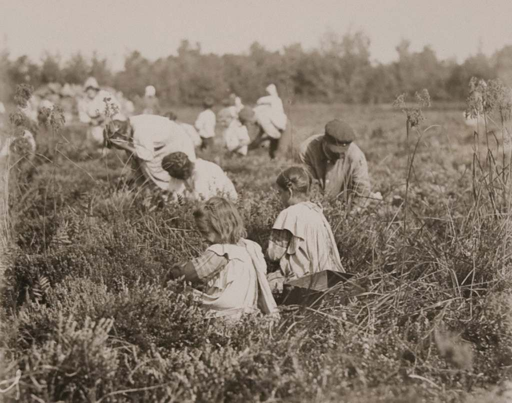 Children Picking Cranberries, Pemberton,New Jersey - September 1910