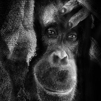 inHUMAN: Unnerving Portraits of Emotional Apes (2014)