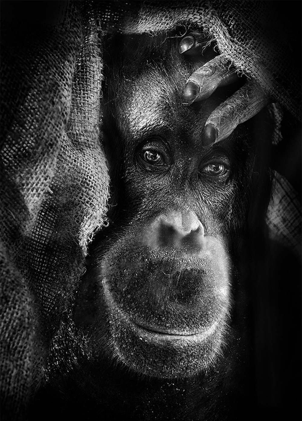 Inhuman Unnerving Portraits Of Emotional Apes 2014