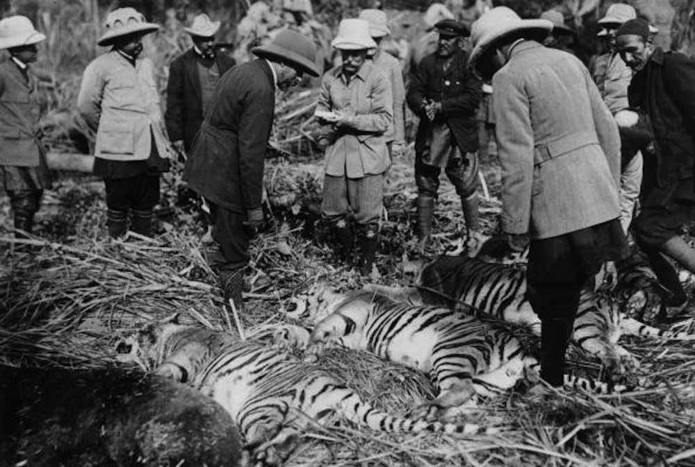 King George V inspects the day's kill after a tiger hunt in India during his royal visit to celebrate his accession to the throne. Original Artwork: From  the 'King Emperor's Indian Durbar Tour of 1911 -1912'