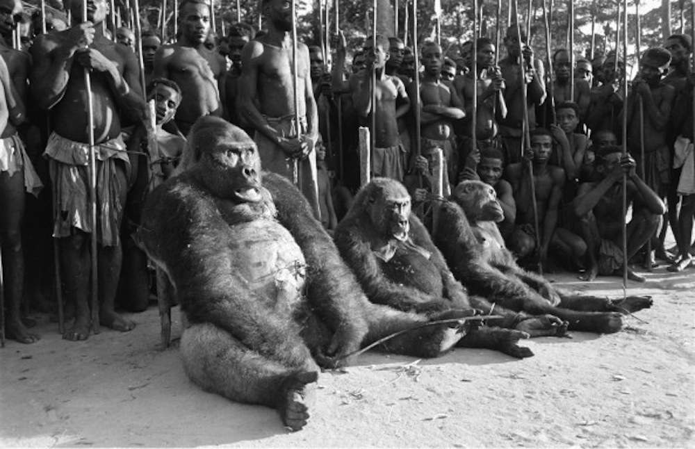 Dead gorillas displayed after a 1951 hunt in what was then French Equatorial Africa.  )