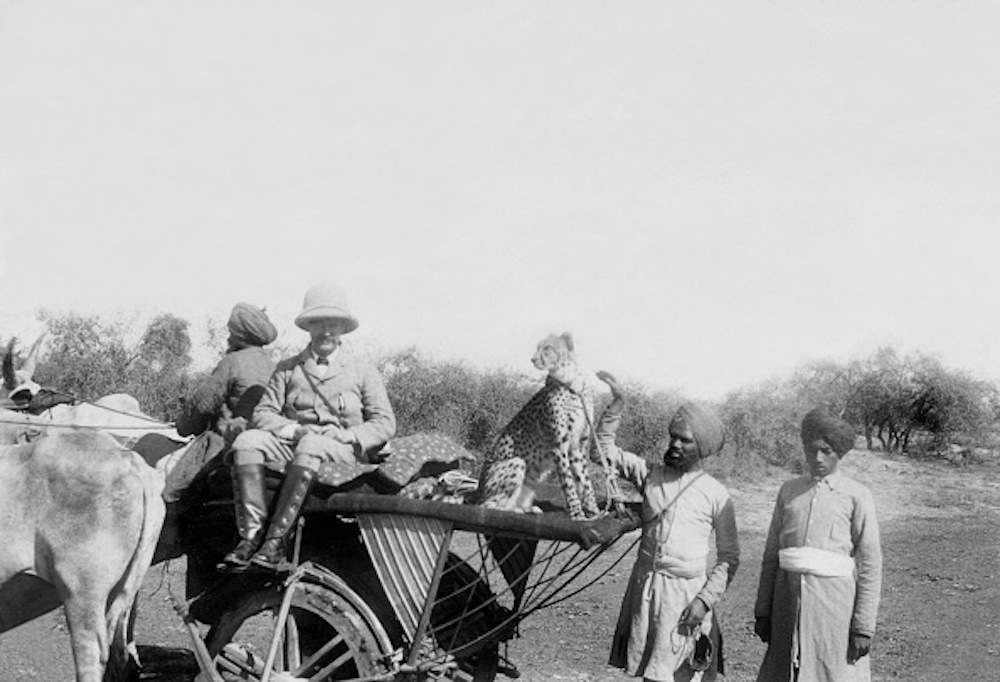 Africa: Hunting with the help of a cheetah - cheetah is sitting on a carriage before the hunt -  1908