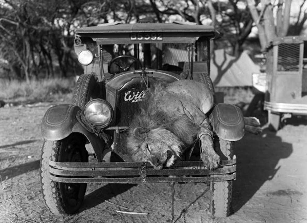 A dead lion lies strapped to the hood of a car after being shot during a hunt, ca.1930s. Kenya.