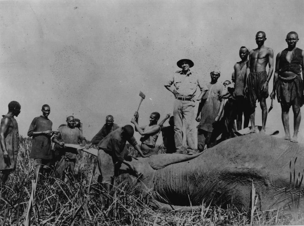 30th October 1933:  A hunting party chopping the tusks off an elephant while others are standing on the giant corpse.  Original Artwork: Photograph displayed at the 1933 International Conference for the Protection of Wildlife in Africa.