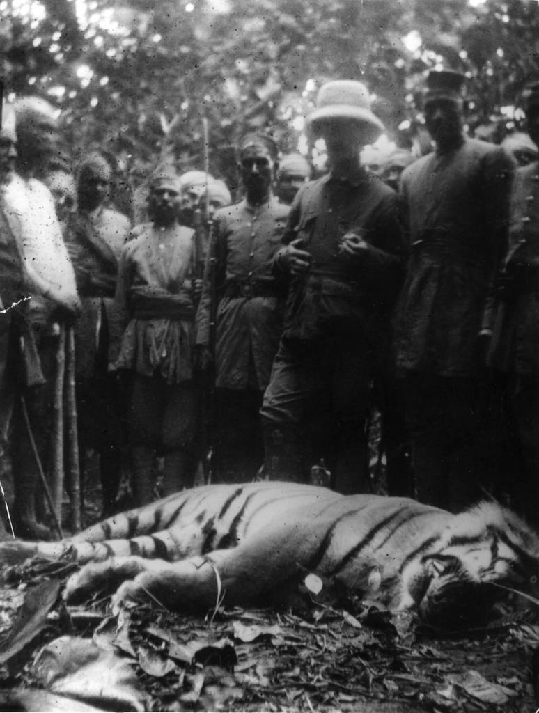 1908:  The corpse of a  9 foot 6 inch tiger, shot after a successful hunt in Nepal.