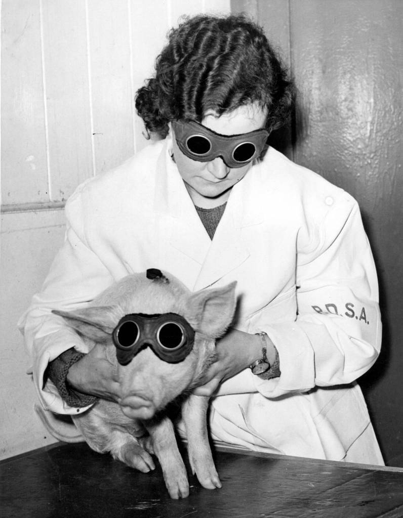 10th January 1938:  A piglet which is being treated by the PDSA (People's Dispensary for Animals) in Ilford with a sun ray lamp, to cure a skin ailment.  (Photo by Fox Photos/Getty Images)