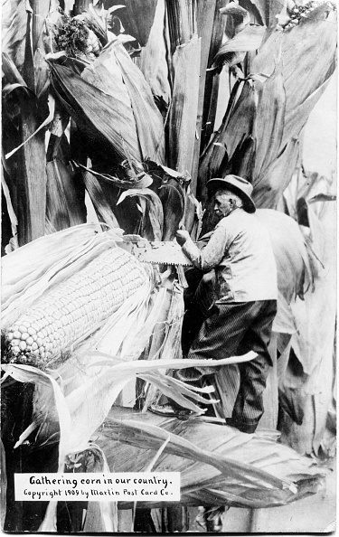 Postcard features agricultural trick photography (by Martin Photography Company of Oxford, Kansas) of a farmer as he saws an enormous ear of corn, circa 1910 . (Photo by Transcendental Graphics/Getty Images)