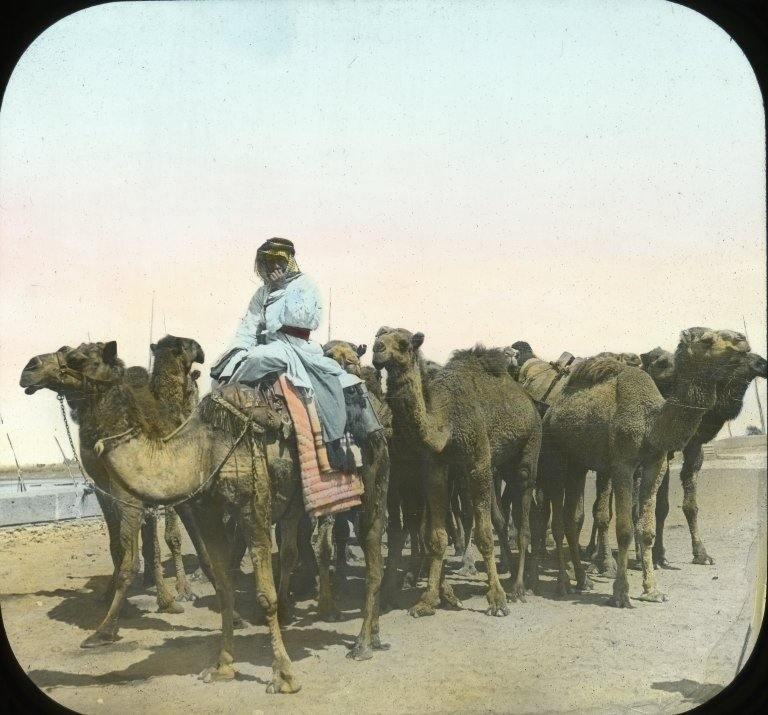 Group of Camels, Cairo.
