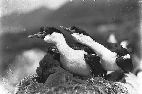 Shags defending nest, Macquarie Island / Photograph by Harold Hamilton