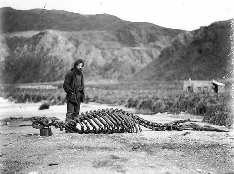 Harold Hamilton with skeleton of sea-elephant