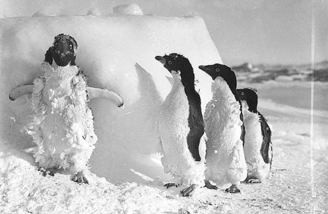 Ice cased Adelie penguins after a blizzard at Cape Denison