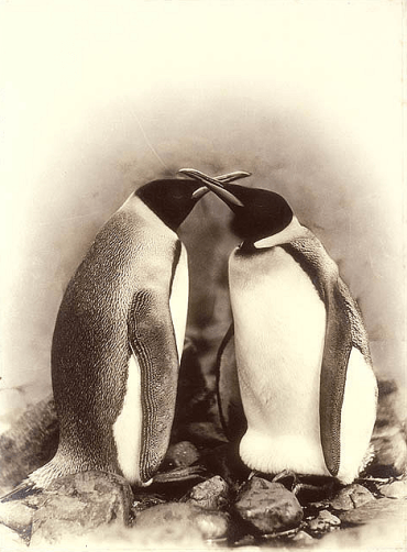 King penguins, Antarctica, 1911-1914 / Photograph by Frank Hurley