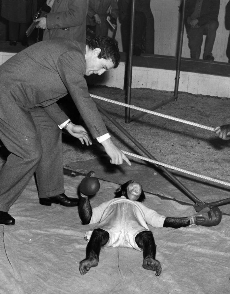 December 1955: Ron Barton the boxer counts out a chimp during the chimp boxing match being rehearsed at the Bertram Mills Winter quarters in Ascot. (Photo by Fox Photos/Getty Images)