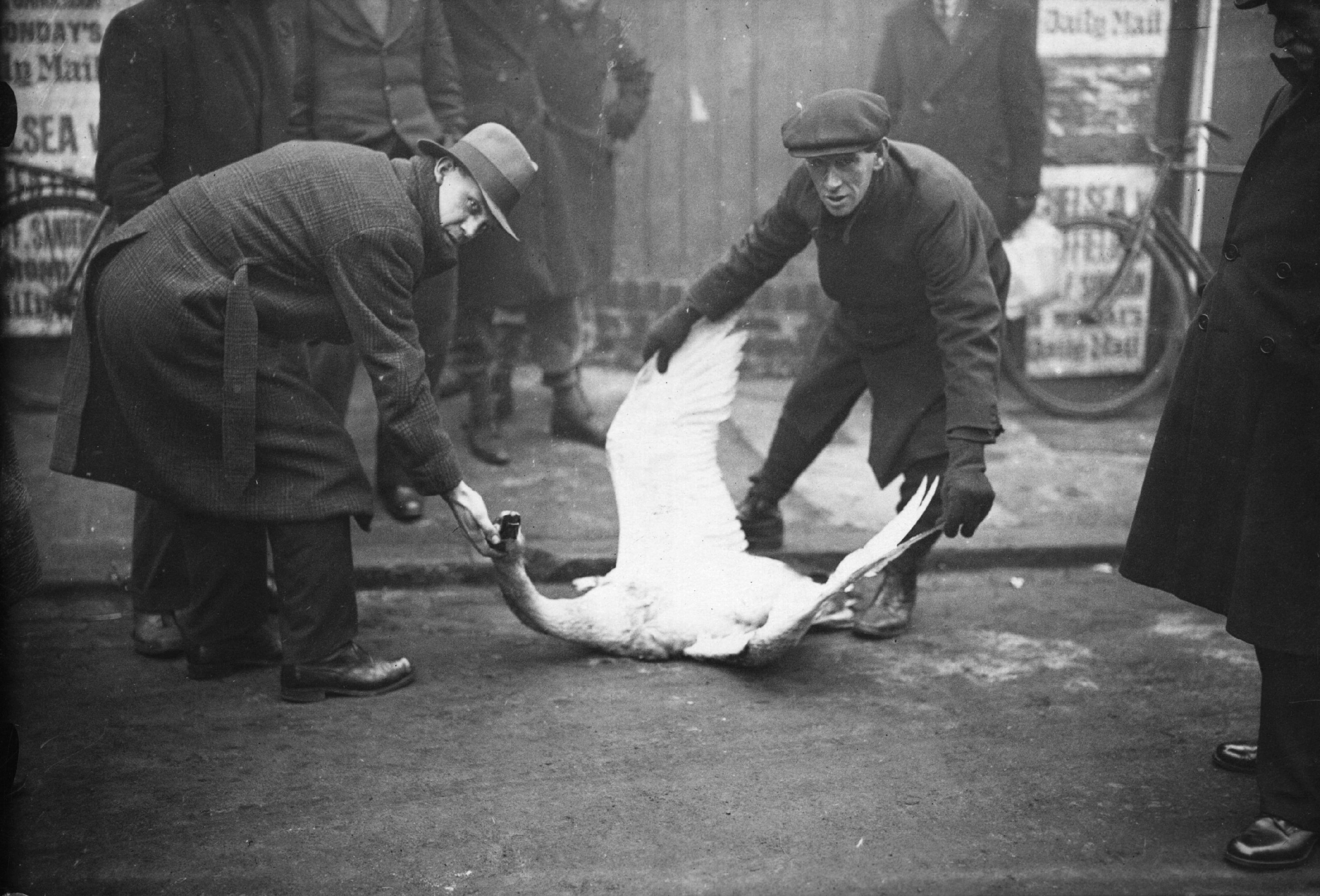 24th January 1934: A swan killed by a car in the thick fog outside Stamford Bridge, London. The bird had landed in the road, exhausted by flying in the bad weather conditions. (Photo by Topical Press Agency/Getty Images)