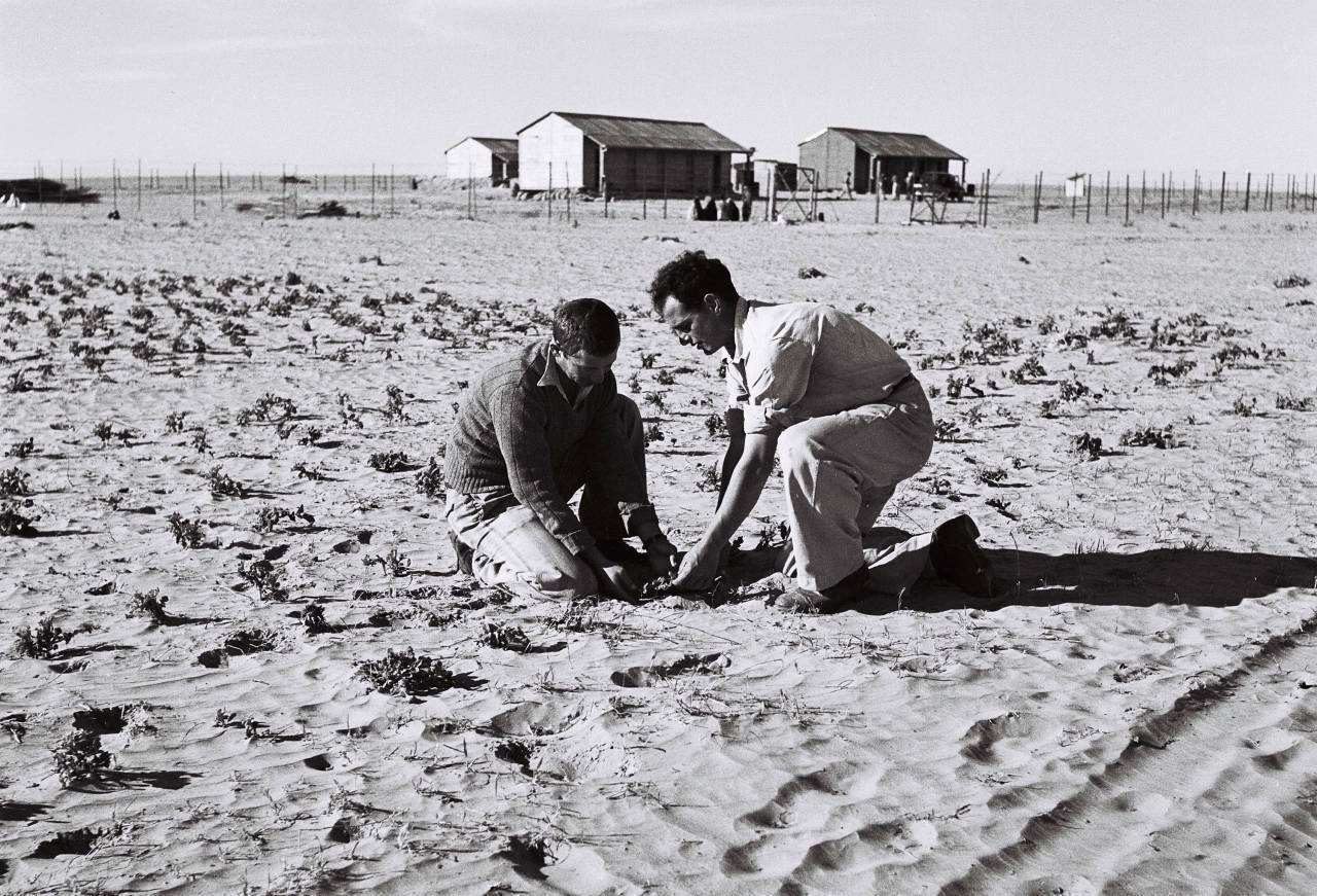 KIBBUTZ URIM, MANDATE PALESTINE - SEPTEMBER 30: In this handout from the GPO, Jewish pioneering settlers work in a potato field near their cooperative farming community Septmber 30, 1946 of Kibbutz Urim in the Negev Desert, during the British Mandate of Palestine, in what would later become the State of Israel. (Photo by Zoltan Kluger/GPO via Getty Images)