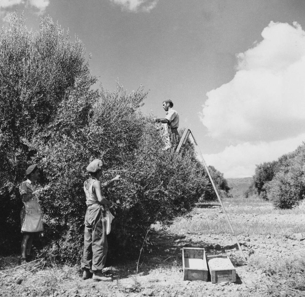 Men harvesting olives in a grove in the Negev region of Israel, circa 1950. (Photo by George Pickow/Three Lions/Hulton Archive/Getty Images)