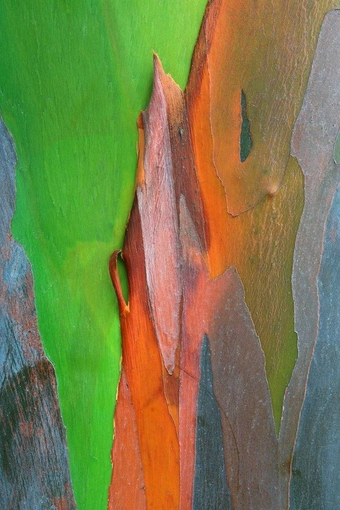 The Mindanoan gum (or rainbow eucalyptus) is located in the Philippines. Layers of bark peel away throughout its growing seasons and in the Philippines, the bark is used as a traditional remedy to combat fatigue.