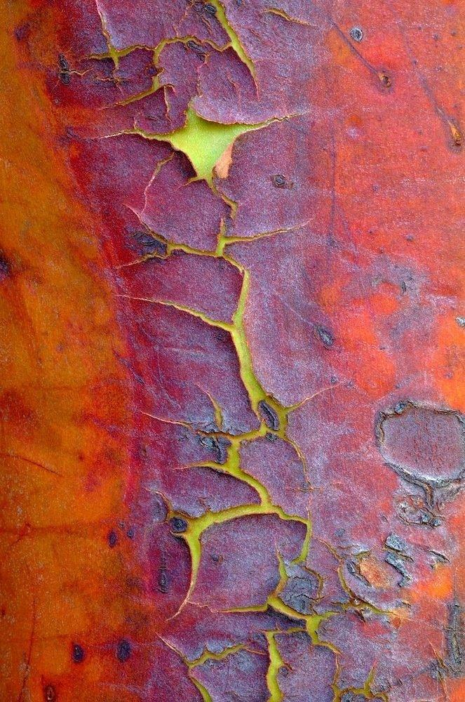 The orange-red bark of a madrone evergreen tree, found on the west coast of North America, peels away on mature wood. Beneath is a smooth, green layer.