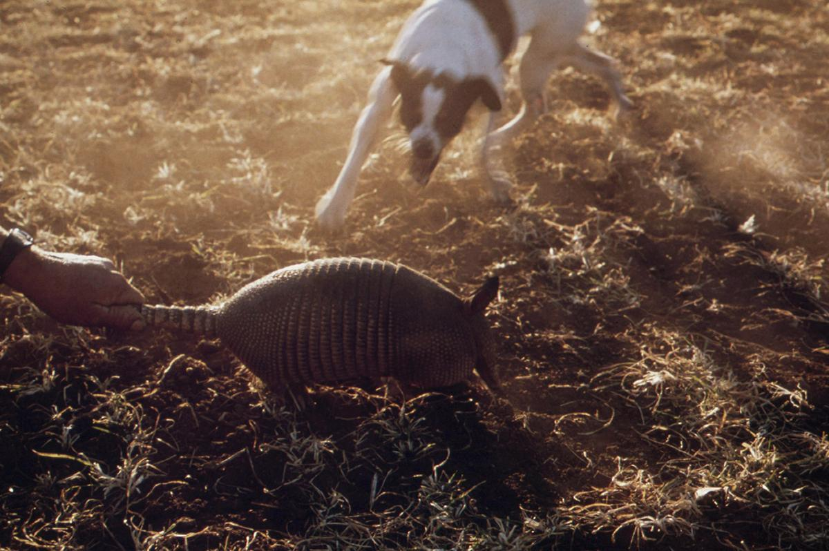 A dog attacks an armadillo on a farm near San Antonio, December 1973.