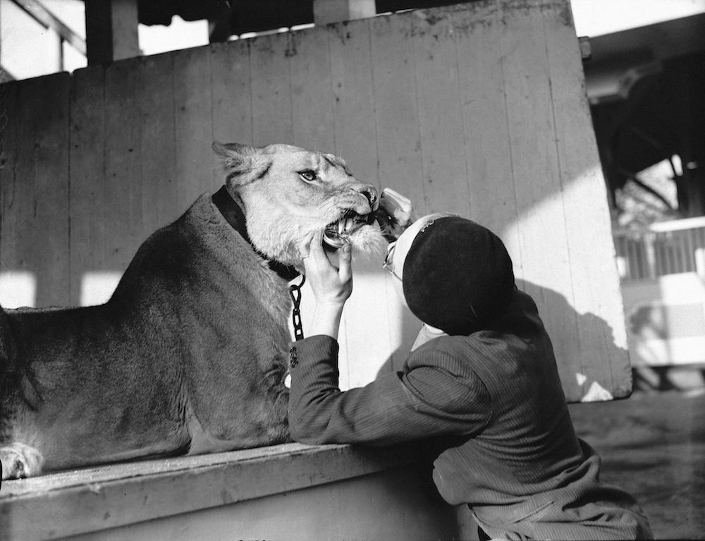 George 'Tornado' Smith cleaning the teeth of his pet lioness, Briton, at the Kursaal amusement park in Southend, Essex, 3rd December 1936. Smith is a stunt motorcycle rider on the wall of death sideshow at the park and Briton features in his act, riding in a sidecar. (Photo by Fred Morley/Fox Photos/Hulton Archive/Getty Images)