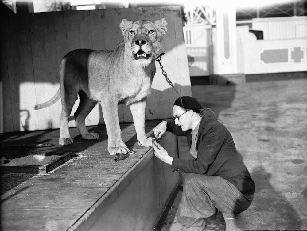 George 'Tornado' Smith clipping the claws of his pet lioness, Briton, at the Kursaal amusement park in Southend, Essex, 3rd December 1936. Smith is a stunt motorcycle rider on the wall of death sideshow at the park and Briton features in his act, riding in a sidecar. (Photo by Fred Morley/Fox Photos/Hulton Archive/Getty Images)