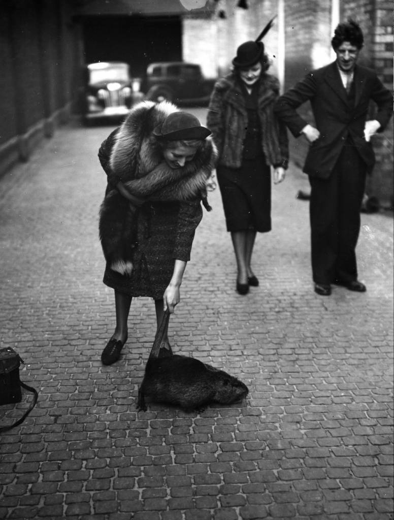 At the fur-bearing animals exhibition in London, a woman tries to pick up a Nutria by its tail. (Photo by Topical Press Agency/Getty Images)