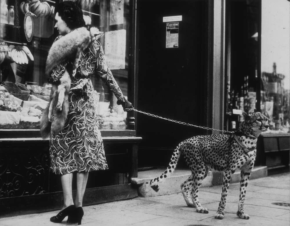 American silent film actress Phyllis Gordon (1889 - 1964) window-shopping in Earls Court, London with her four-year-old cheetah who was flown to Britain from Kenya. (Photo by B C Parade/Getty Images)