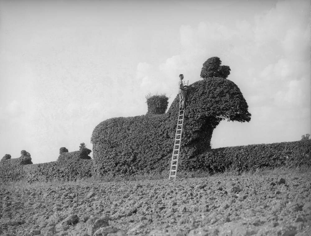 7th September 1934:  A gardener trimming a unique example of topiary at Rodin, Dunmow, Essex, depicting a group of horsemen and hounds hunting a stag.  (Photo by William Vanderson/Fox Photos/Getty Images)
