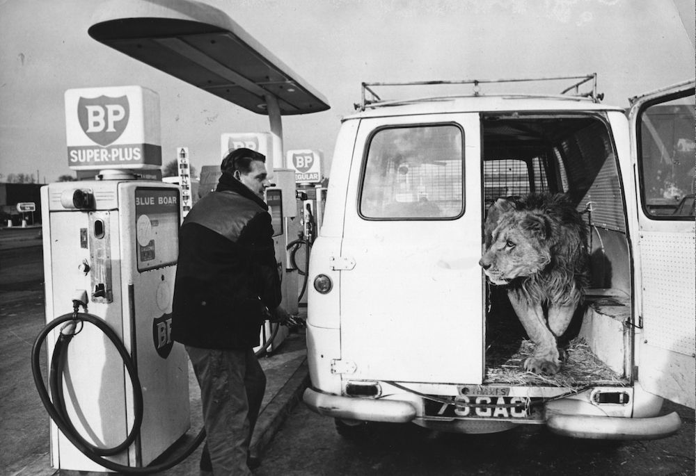 7th January 1966:  A petrol pump attendant is surprised to see a lion emerge from the back of the van he is filling.  (Photo by Keystone/Getty Images)