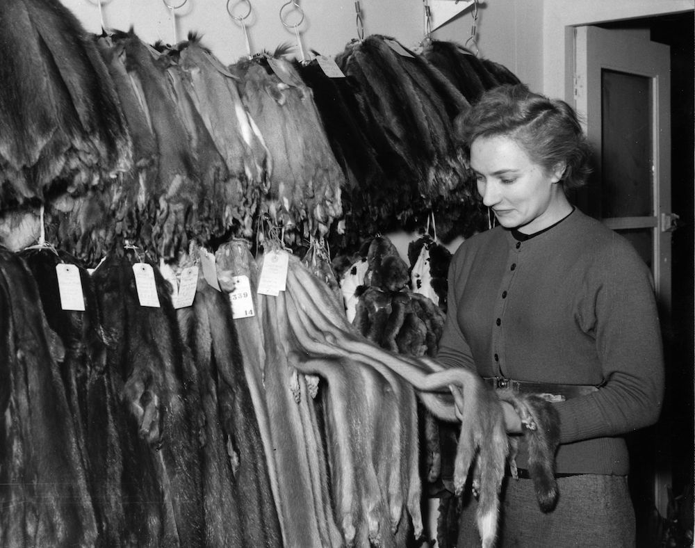 3rd February 1954: Diana Ingham-Rhodes inspecting the newest Sapphire Mink at the Fur Mart, held at the Royal Exchange, London. (Photo by Fred Morley/Fox Photos/Getty Images)