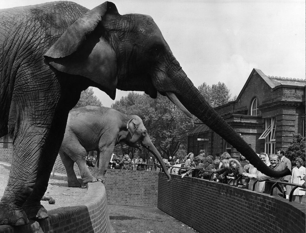 7th July 1965:  The elephants have settled into their new surroundings in the Elephant and Rhinoceros Pavilion at London Zoo, as in their old enclosure, they are conveniently placed to stretch out their trunks to receive tit-bits from visitors.  (Photo by Fox Photos/Getty Images)