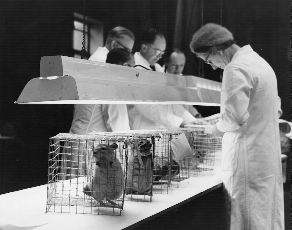 February 1962: Judges at the Chinchilla Fur Breeders's Association's Southern Region Show at Seymour Hall, Marylebone, London. (Photo by Fox Photos/Getty Images)