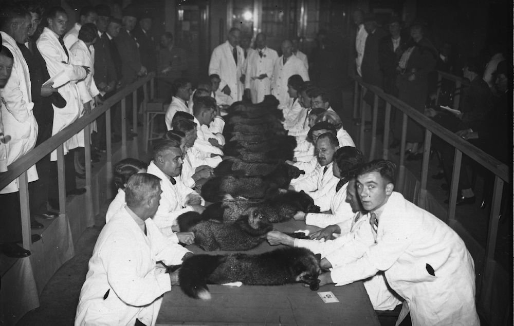 3rd November 1937: Judging a class of silver foxes, bred for their furs, at the Royal Agricultural Hall, London. (Photo by J. A. Hampton/Topical Press Agency/Getty Images)
