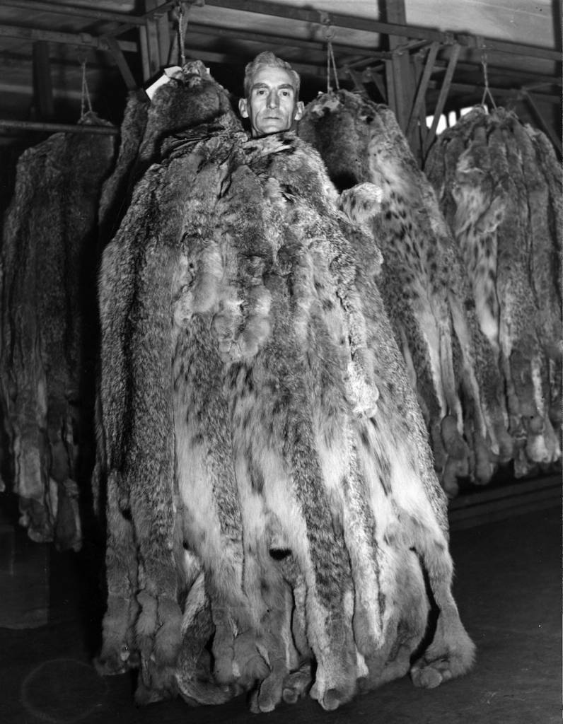 1st October 1946: Canadian Lynx skins being shown to buyers at the auction in London which has become the centre of the world's fur trade once again since the war ended. (Photo by Fox Photos/Getty Images)