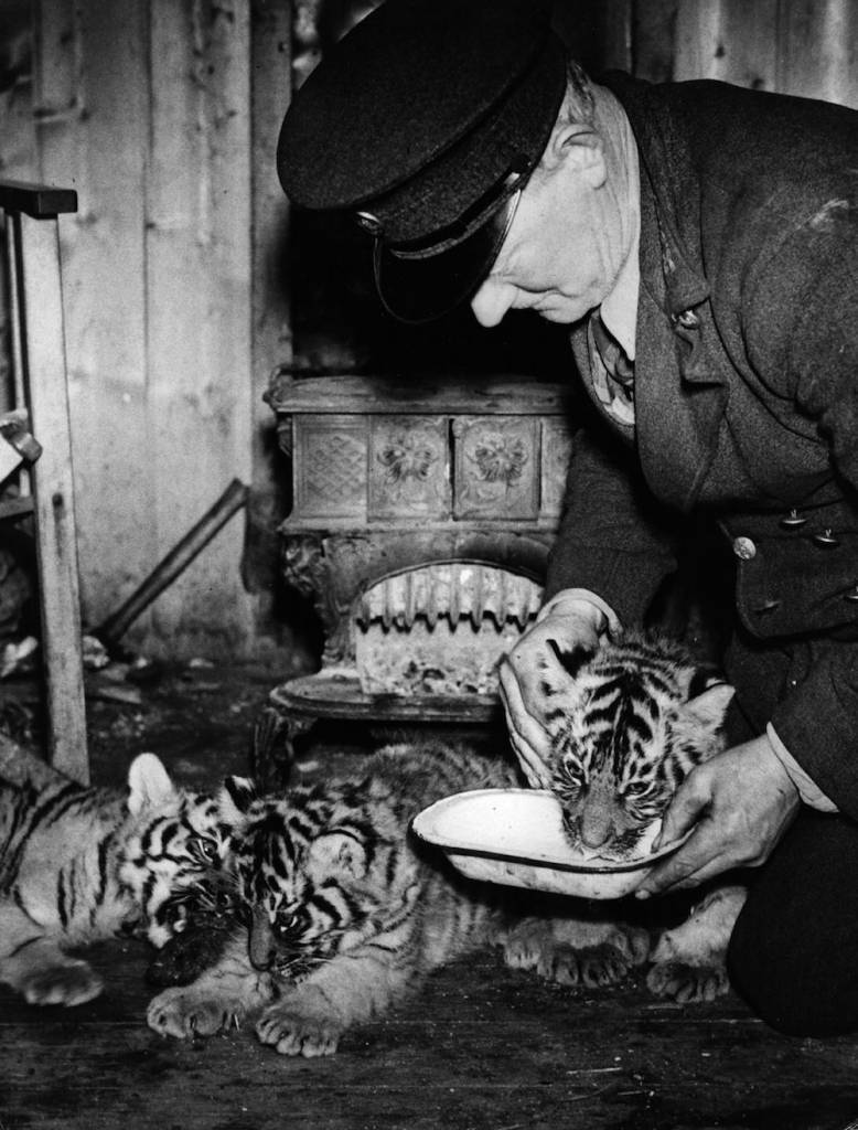 7th February 1940:  Three tiger cubs born in the snow are being fed by a keeper in his hut at Whipsnade zoo.  (Photo by Fox Photos/Getty Images)