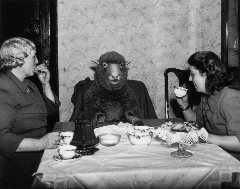 1st March 1949:  Farmer Mrs Maud Lee and her daughter Pat enjoy elevenses at their farmhouse in Keynsham, near Bristol, with their pet lamb Betty.  (Photo by Burchell/Fox Photos/Getty Images)