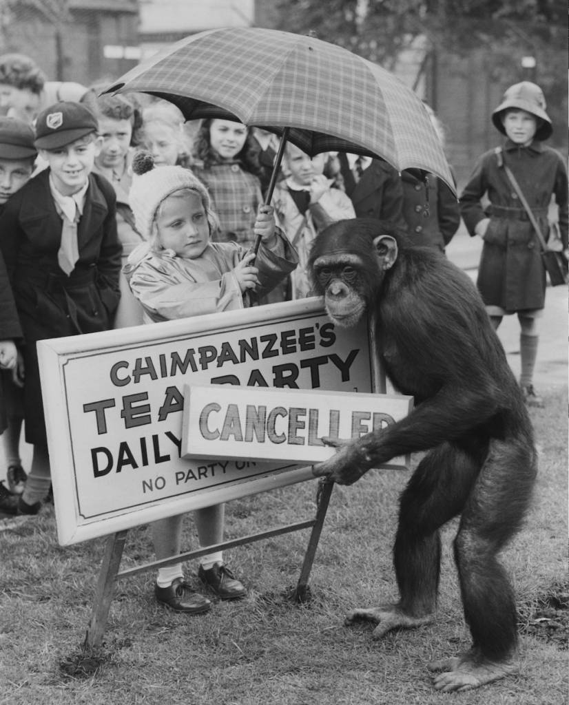Fifi the chimp informs a group of disappointed young visitors that the chimpanzees' tea party at London Zoo is rained off, 7th June 1956. Four-year-old Madeline Siddall kindly holds up an umbrella while Fifi affixes the 'Cancelled' notice to the tea party sign. (Photo by Fred Morley/Fox Photos/Hulton Archive/Getty Images)